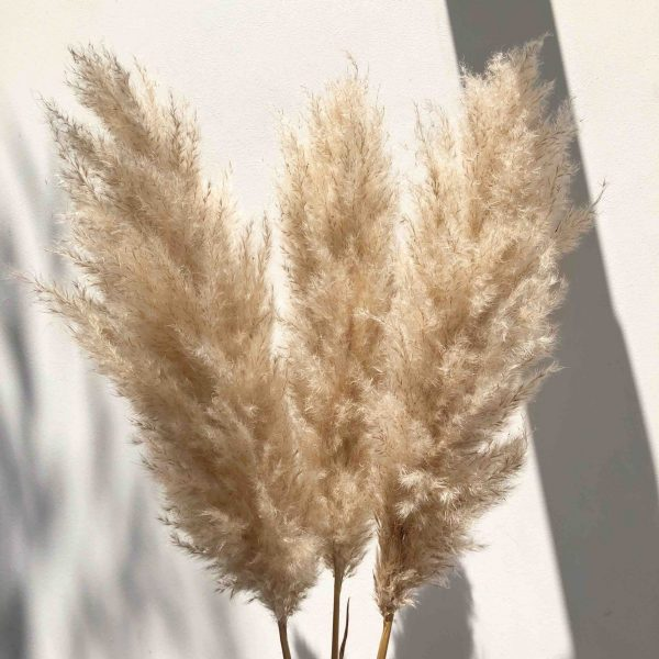Cream pampas, fluffy pampas, fluffy cream pampas, extra tall pamaps, pampas grass for sae, pampas grass shop,